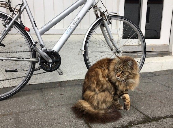 Street cat Reykjavik