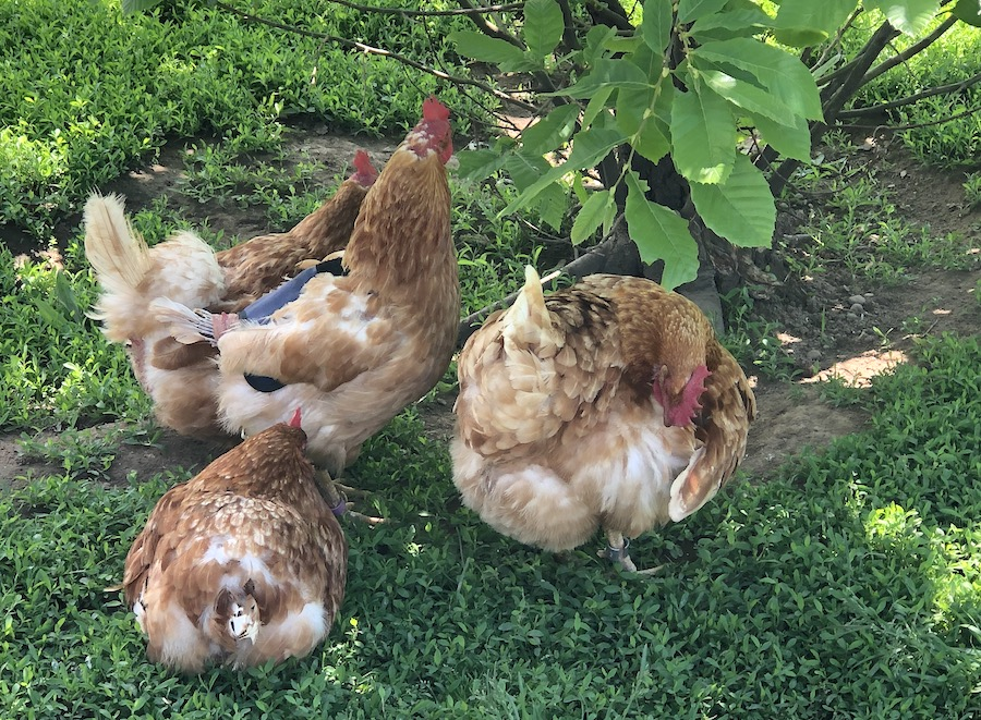 Chickens at Woodstock Farm Sanctuary