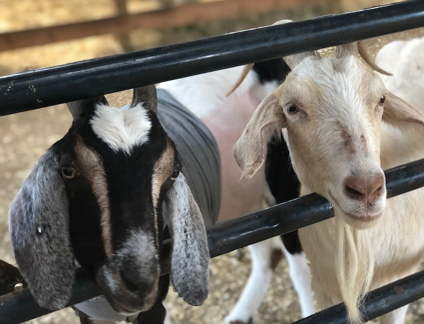Goats at Woodstock Farm Sanctuary.
