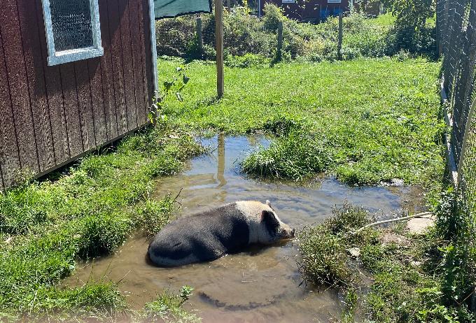 A pig at the farm sanctuary
