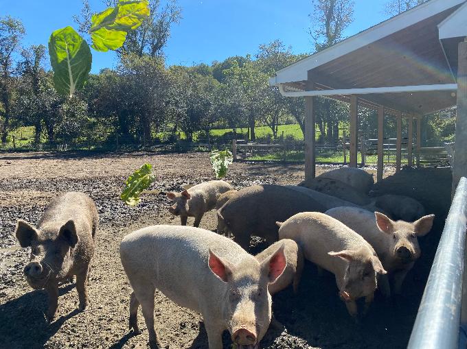 Pigs at the Farm Sanctuary